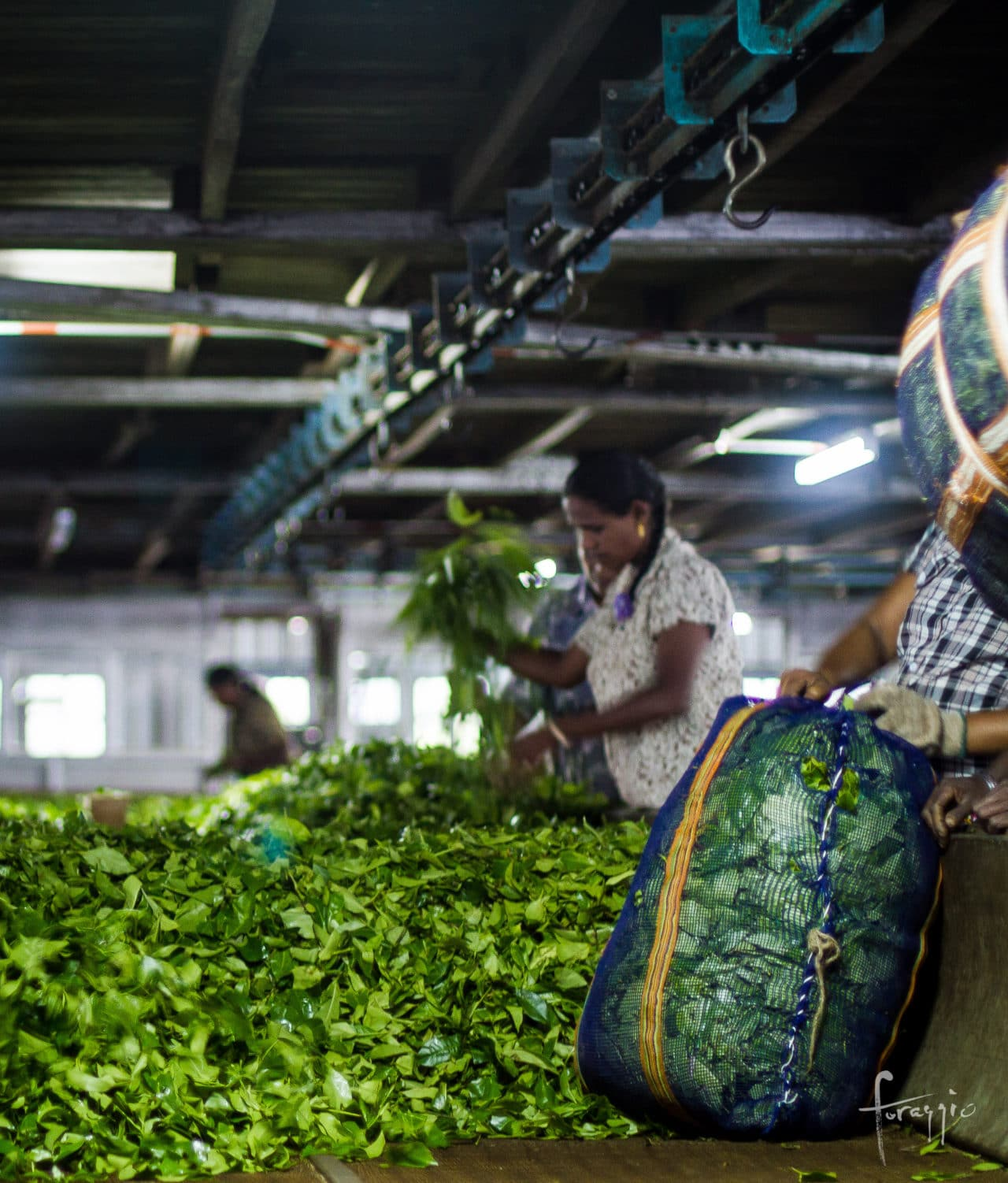 Tea production, Sri Lanka