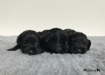 """Cachorros de Schnauzer """"negros"""""""