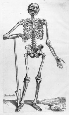 human skeleton human body anatomy