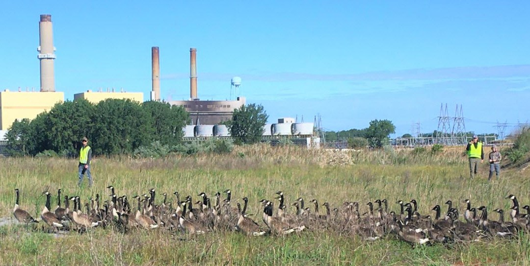 Wild Goose Chase: More than 200 Geese Banded for Migration Tracking