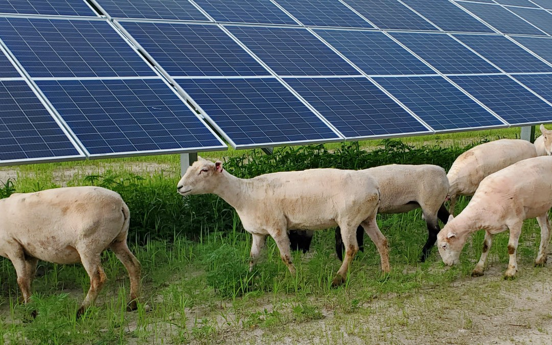 Ewe Are Not Going to Believe Who's Trimming the Vegetation at a Local Solar Site