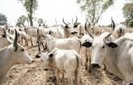 Nigerian Army Hands Over 120 Recovered Cows To Kaduna Government