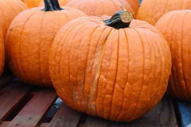 too squat pumpkin