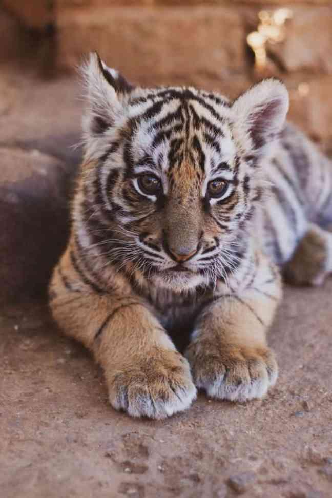 Royal Bengali Tiger, the national animal of Bangladesh