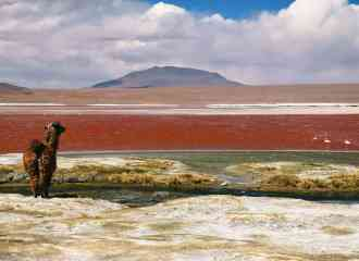LLama near water in Bolivia