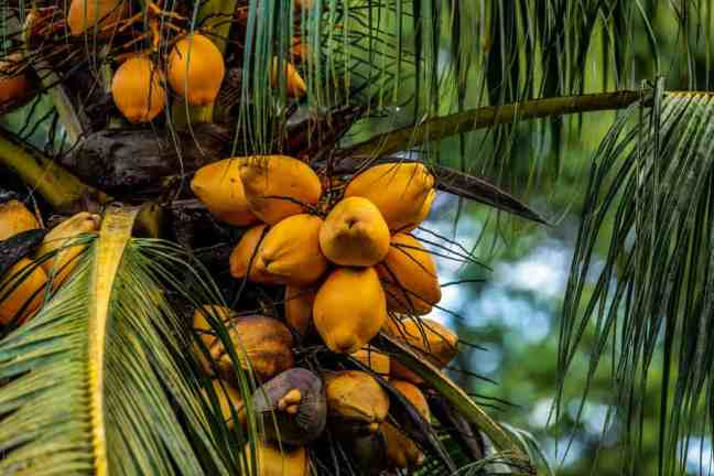 costa rican food: yellow fruits