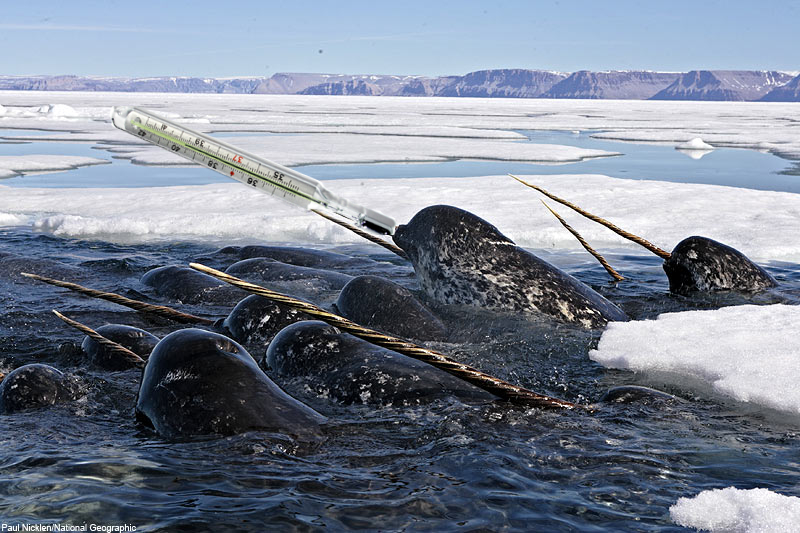 Narwhal Thermometers