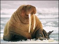 pacificwalrus