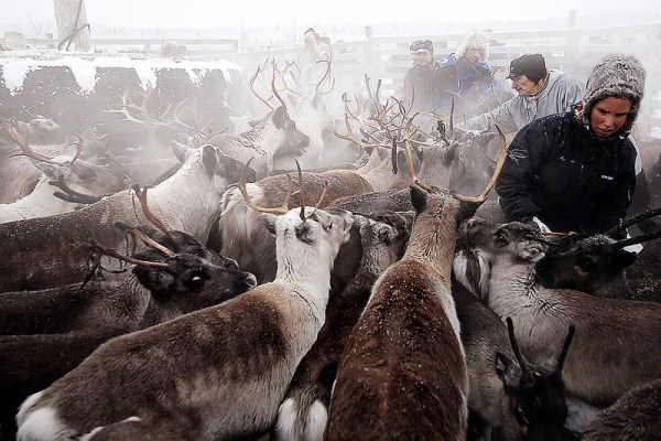 For these Sami reindeer herders, the times, they are a changin'. (c) Michiel van Niemwegen/Flickr.