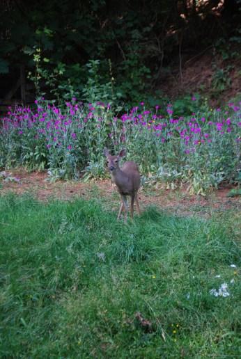 Deer visit us in the back yard of Pilgrimme
