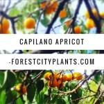 Capilano Apricot, Forest City Plants