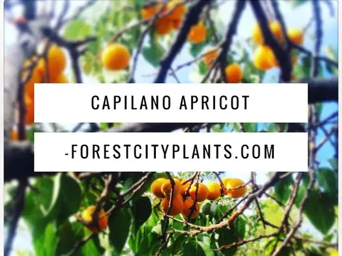 Capilano Apricot, Forest City Plants