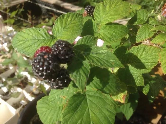 Fruit from a Velma black raspberry. Edmonton, Alberta. Forest City Plants