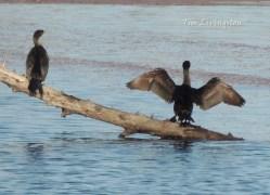 wildlife, photography, cormorants, divers, waterfowl