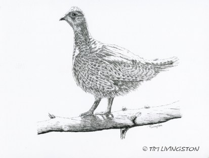 Dusky grouse, blue grouse, grouse, birding, pen and ink, nature