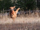 golden retriever, forestry