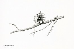 logepole pine, cone, pine cone, pen and ink, drawing, sketch, plein air