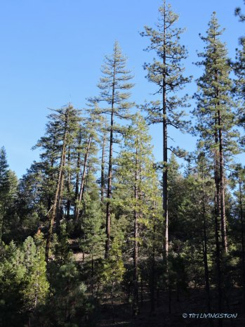 Big pine on the ridge.