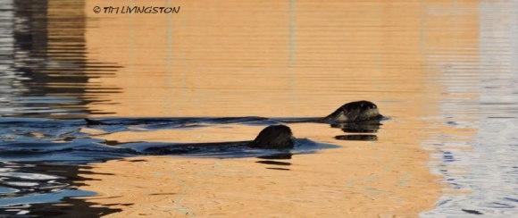 Otter, golden retrievers