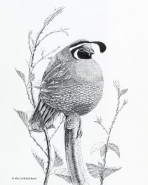 quail, California Valley Quail, pen and ink, pen, ink, drawing, wildlife