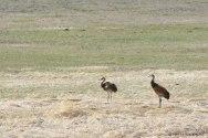 Sand crane, Montana