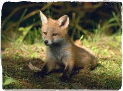 Photo of fox cub