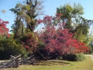 Dogwood trees at the Yorktown battlefields