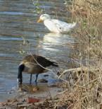 A duck's orange beak glows on this sunny winter day.