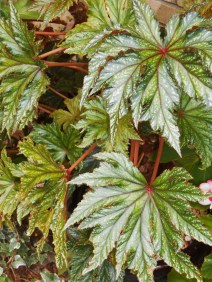 "Believe it or not, Begonia ""Gryphon' will root from a stem cutting. Remove 4"" or more of a stem, press into moist soil, and wait for new growth to appear after the roots establsih."