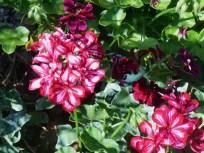 June 16, 2015 blooming in June 005