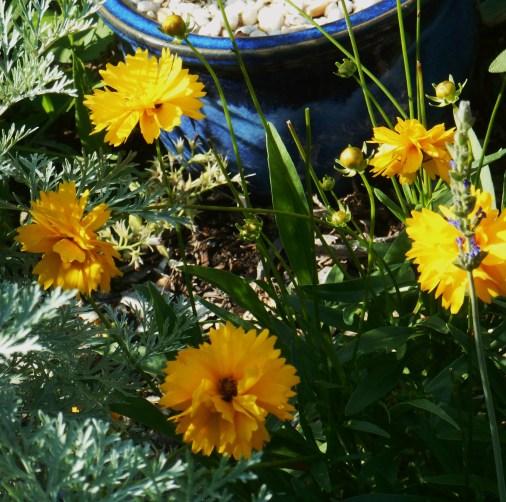 June 16, 2015 blooming in June 010
