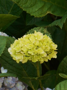 June 16, 2015 blooming in June 032