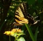 August 21, 2015 butterflies 018