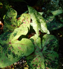 Caladium 'Sweet Carolina'