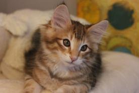 Koty norweskie leśne amber