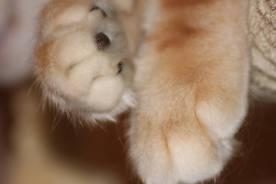 Kot norweski leśny bursztyn