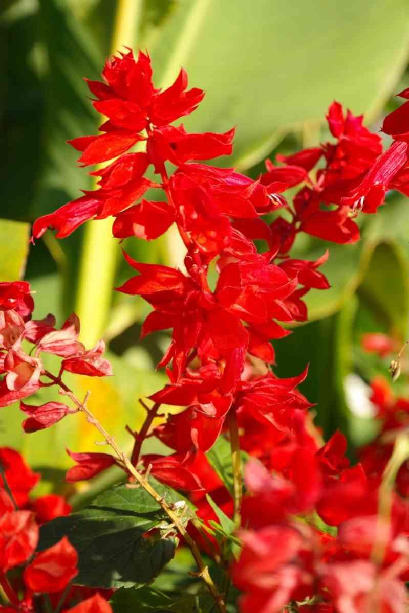 http://pixabay.com/en/fire-sage-flower-red-228379/