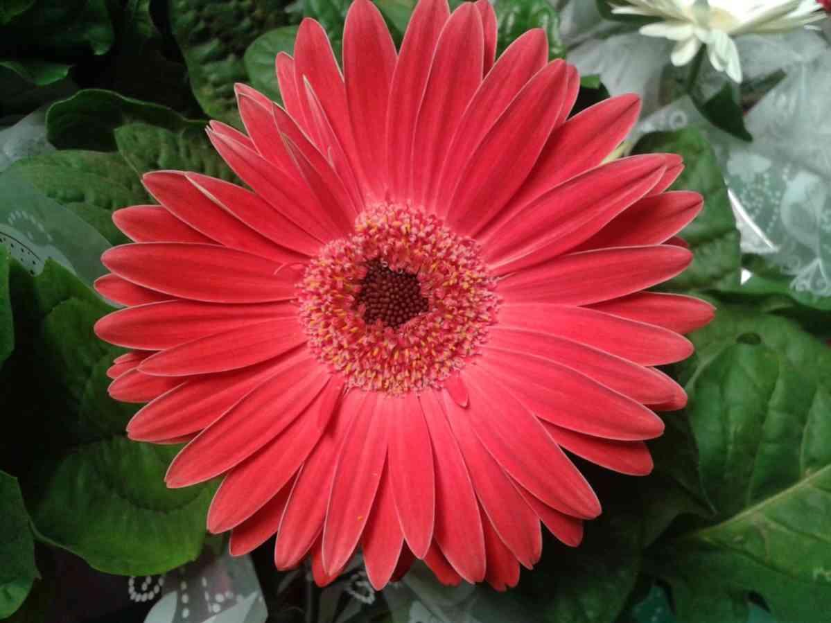 http://pixabay.com/en/gerbera-daisy-flower-nature-flowers-189513/