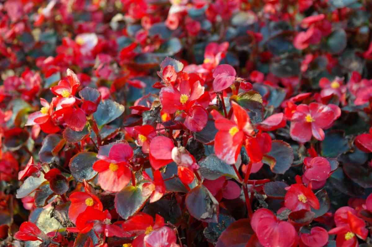 http://pixabay.com/en/ice-begonias-flowers-red-flora-228404/