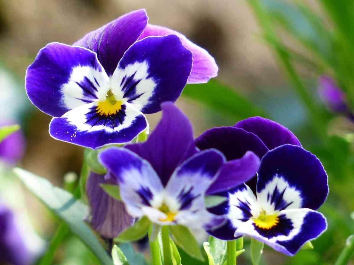 http://pixabay.com/en/pansy-flower-blue-violet-white-167917/