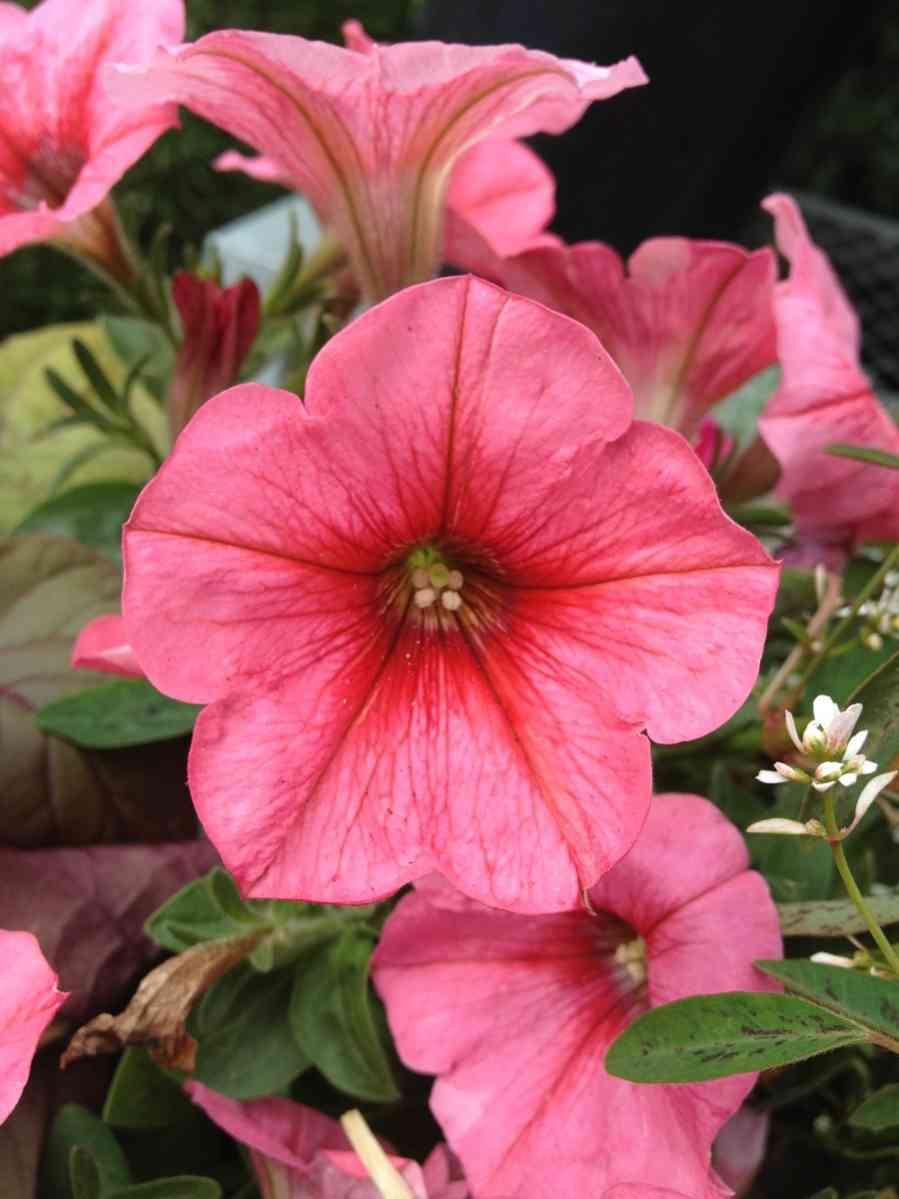 http://pixabay.com/en/petunia-flowers-floral-blossom-329450/