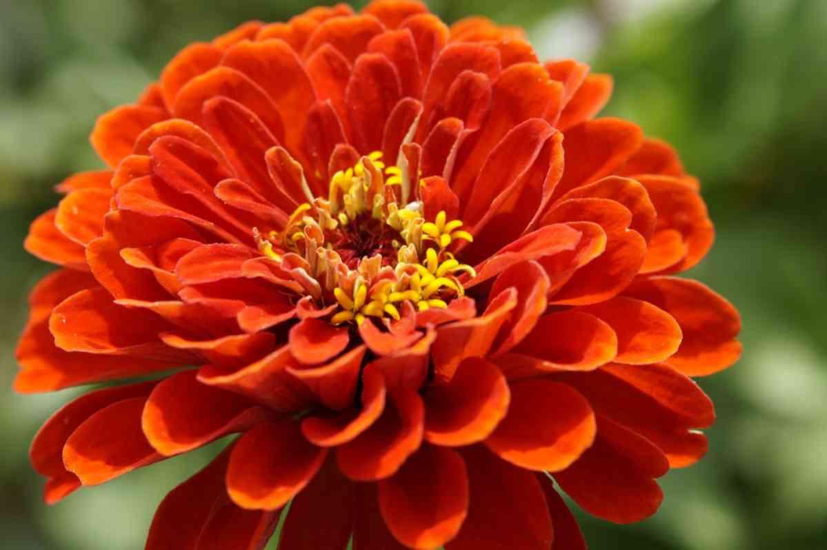 http://pixabay.com/en/zinnia-flower-orange-flower-garden-413564/