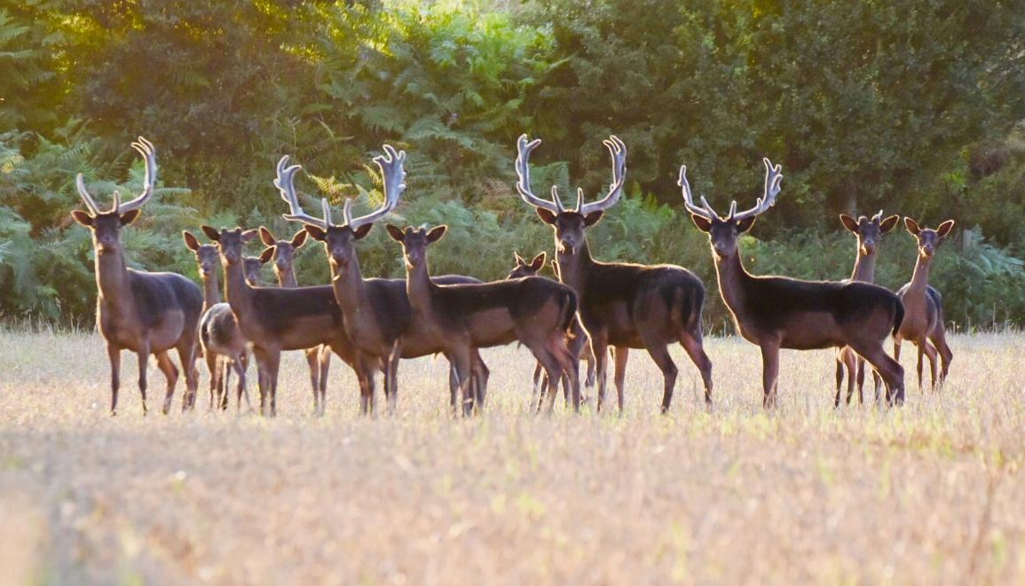 Wild Deer, Sherwood Pines