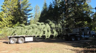 tree ready for transport
