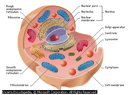 Animal Cell - Forestrypedia