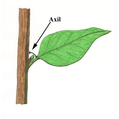 Axil - Lexicon of Forestry - LoF - Forestrypedia