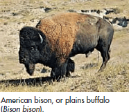 Bison - Lexicon of Forestry - LoF - Forestrypedia.png