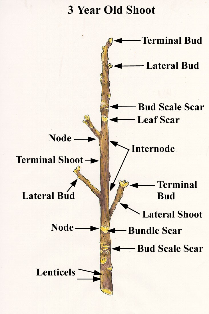 Bud - - Lexicon of Forestry - LoF - Forestrypedia