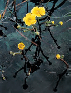 Buttercup - Lexicon of Forestry - LoF - Forestrypedia