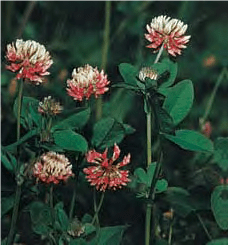 Clover - Lexicon of Forestry - LoF - Forestrypedia